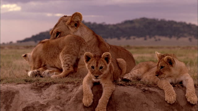 lion cubs lie on a knoll with their mother. - cute stock videos & royalty-free footage