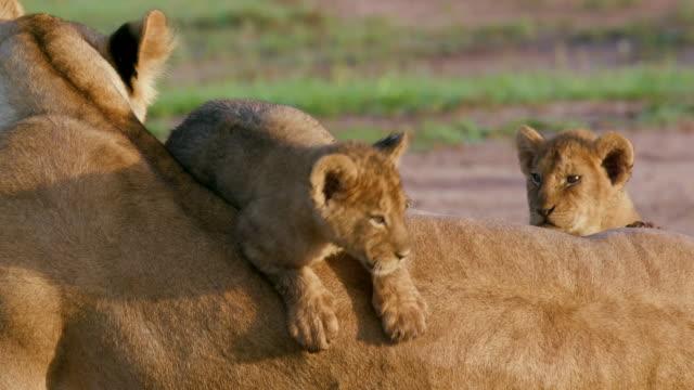 lion cubs & lioness, maasai mara, kenya, africa - lion cub stock videos & royalty-free footage