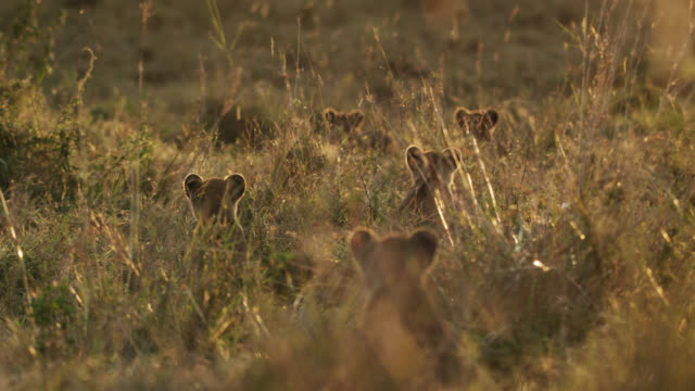 vídeos de stock e filmes b-roll de lion (panthera leo) cubs looking alert on savannah at sunset, kenya - família animal
