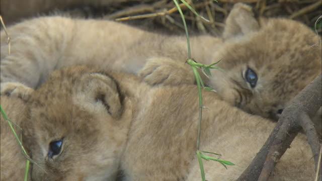 lion cubs lying down in the bush of serengeti national park, tanzania - kopf nach hinten stock-videos und b-roll-filmmaterial