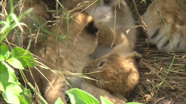 lion cubs lying down in the bush of serengeti national park, tanzania - tierische nase stock-videos und b-roll-filmmaterial