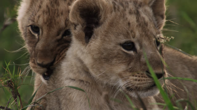 Lion (Panthera leo) cubs on savannah, Kenya