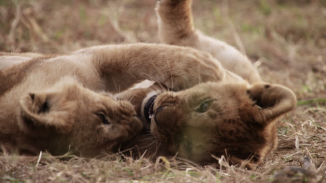 lion cubs (panthera leo) play fight on savannah, kenya - lion cub stock videos & royalty-free footage