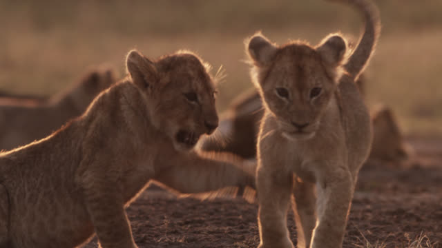Lion cubs (Panthera leo) play fight on savannah, Kenya