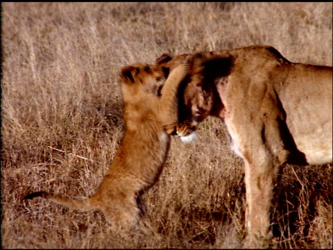 Lion cubs play fight with lioness in dry bush land, Botswana