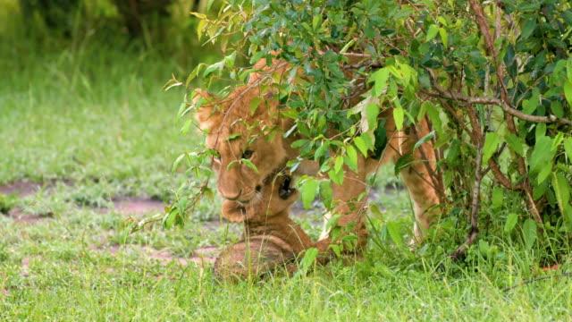 lion cubs play fighting, maasai mara, kenya, africa - lion cub stock videos & royalty-free footage