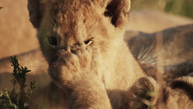 lion (panthera leo) cubs play on savannah, kenya - young animal video stock e b–roll