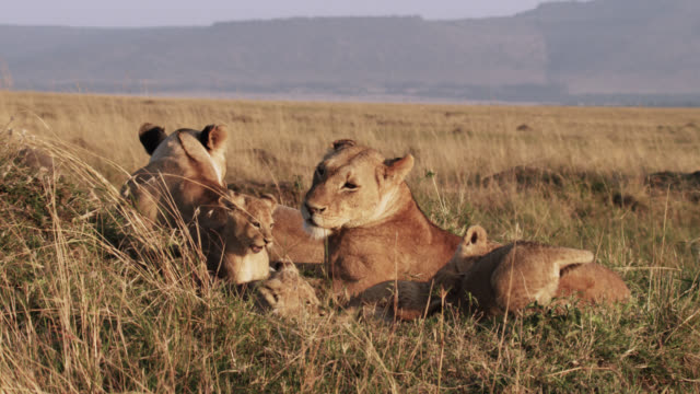 Lion (Panthera leo) cubs play on savannah, Kenya