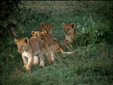 lion cubs play with each other in the grass. - other stock videos & royalty-free footage