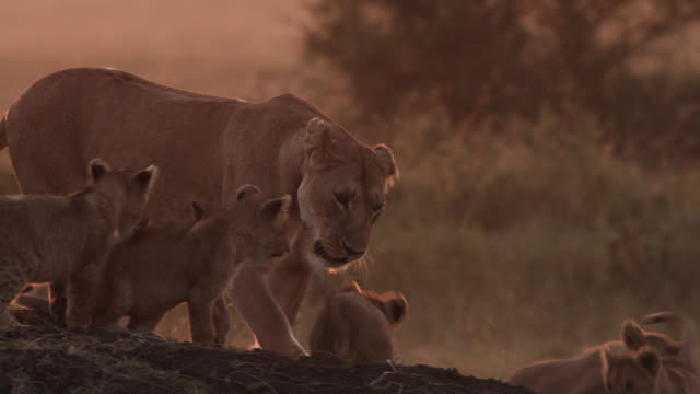 Lion cubs (Panthera leo) play with female lion on savannah at sunset, Kenya