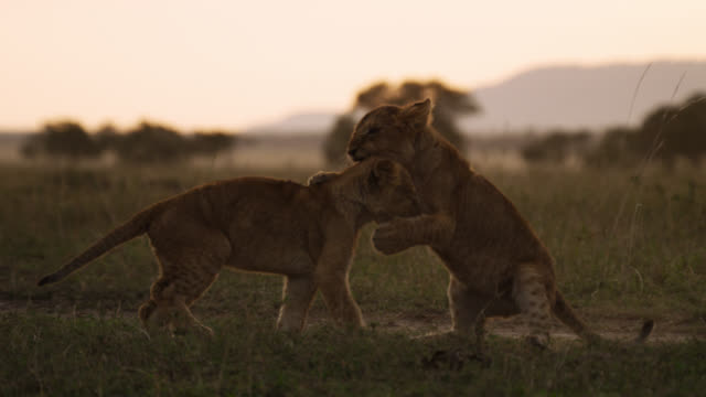 lion (panthera leo) cubs playfight at sunset, kenya - lion cub stock videos & royalty-free footage