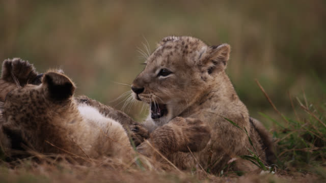 vídeos de stock, filmes e b-roll de lion (panthera leo) cubs playfight on savannah, kenya - fauna silvestre