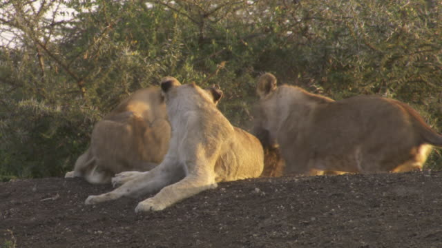 ms pan lion cubs playing and sitting on hill / tanzania  - gruppo medio di animali video stock e b–roll