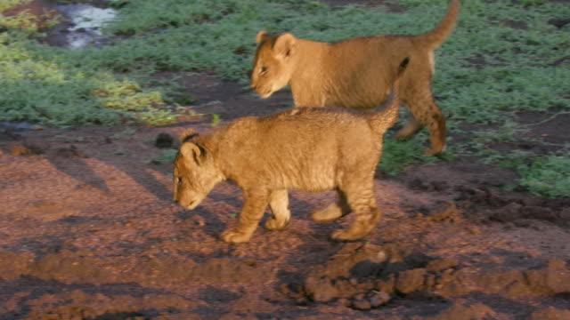 lion cubs playing in car tracks, maasai mara, kenya, africa - endangered species stock videos & royalty-free footage