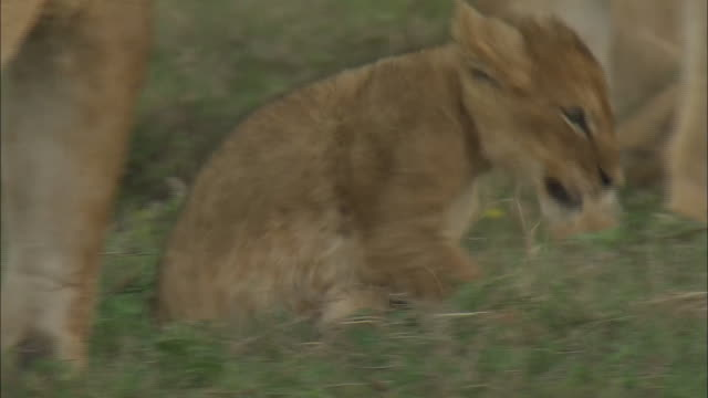 lion cubs playing in the bush of serengeti national park, tanzania - tierische nase stock-videos und b-roll-filmmaterial