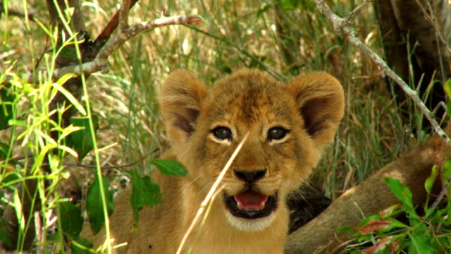 lion cubs playing/ kruger national park/ south africa - lion cub stock videos & royalty-free footage