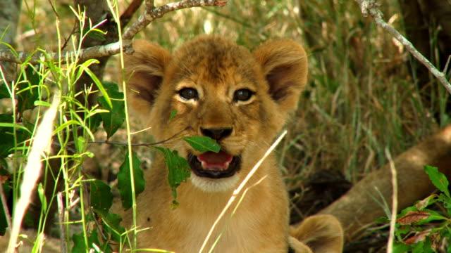 lion cubs playing/ kruger national park/ south africa - krüger nationalpark stock-videos und b-roll-filmmaterial