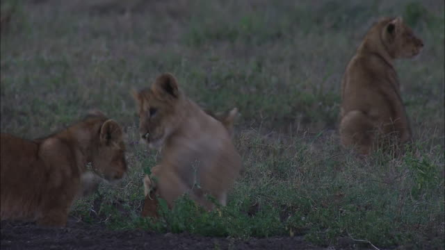 lion cubs playing on the grass in serengeti national park, tanzania - lion cub stock videos & royalty-free footage
