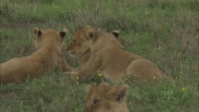 lion cubs playing together in the bush of serengeti national park, tanzania - zurücklehnen stock-videos und b-roll-filmmaterial