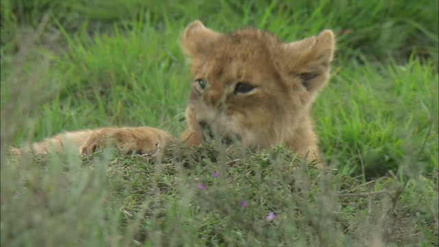 lion cubs playing together on the grass in serengeti national park, tanzania - zurücklehnen stock-videos und b-roll-filmmaterial
