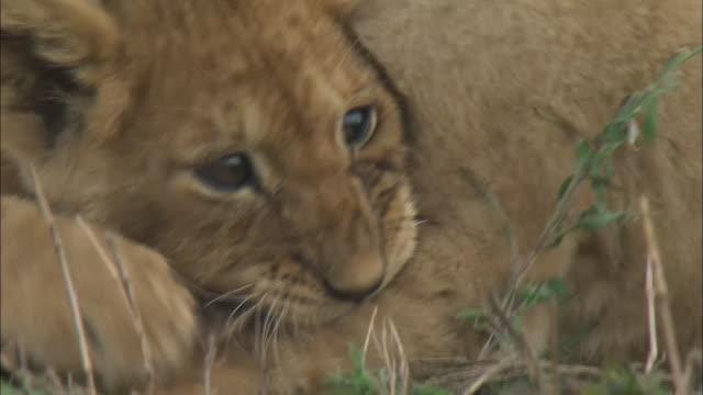 vídeos de stock, filmes e b-roll de lion cubs playing together on the grass in serengeti national park, tanzania - bigode de animal