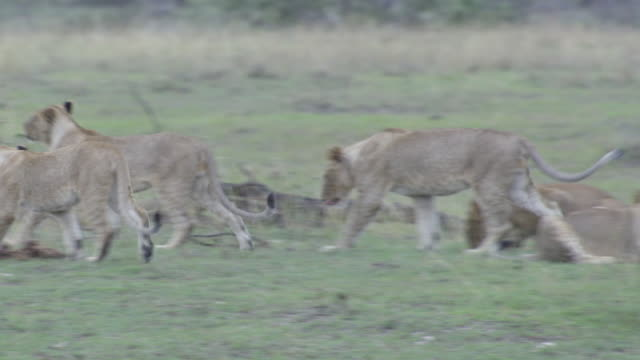 stockvideo's en b-roll-footage met ms pan lion cubs playing with branch / tanzania - kleine groep dieren