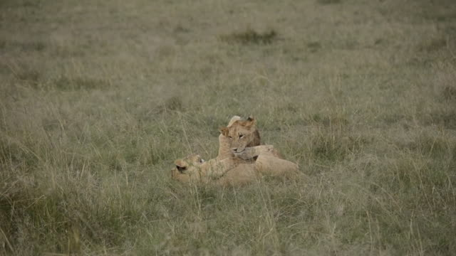Lion cubs playing with each other inside Masai mara national reserve during a wildlife safari