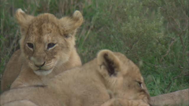 vídeos de stock e filmes b-roll de lion cubs playing with the tail of a lioness on the grass in serengeti national park, tanzania - grupo pequeno de animais
