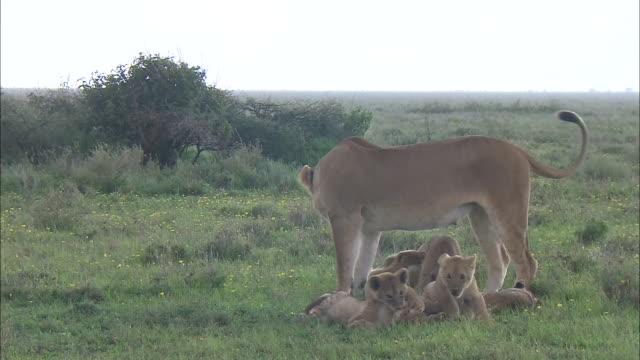 vídeos de stock e filmes b-roll de lion cubs playing with their mom on the grass in serengeti national park, tanzania - cara para baixo