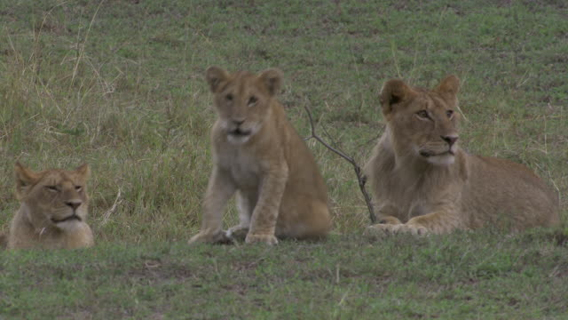 stockvideo's en b-roll-footage met ms lion cubs sitting on grass / tanzania  - kleine groep dieren