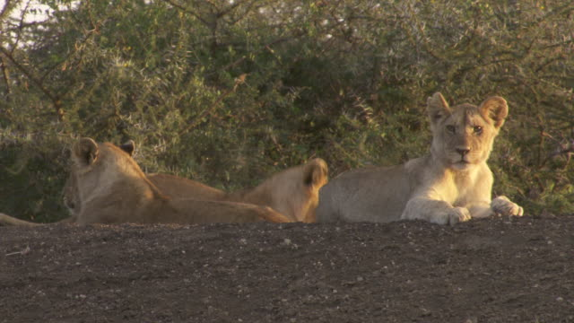 stockvideo's en b-roll-footage met ms lion cubs sitting on hill / tanzania  - kleine groep dieren