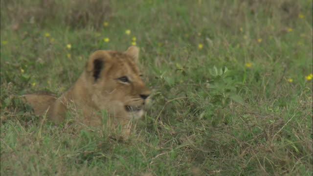 lion cubs sitting on the grass in serengeti national park, tanzania - tierische nase stock-videos und b-roll-filmmaterial