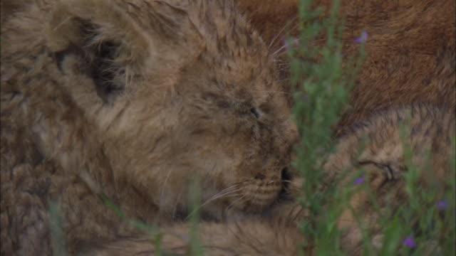 lion cubs sleeping in the bush of serengeti national park, tanzania - morrhår bildbanksvideor och videomaterial från bakom kulisserna