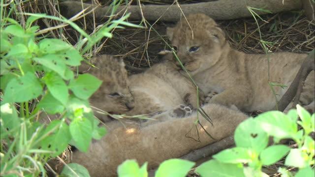 vídeos de stock, filmes e b-roll de lion cubs sleeping in the bush of serengeti national park, tanzania - bigode de animal