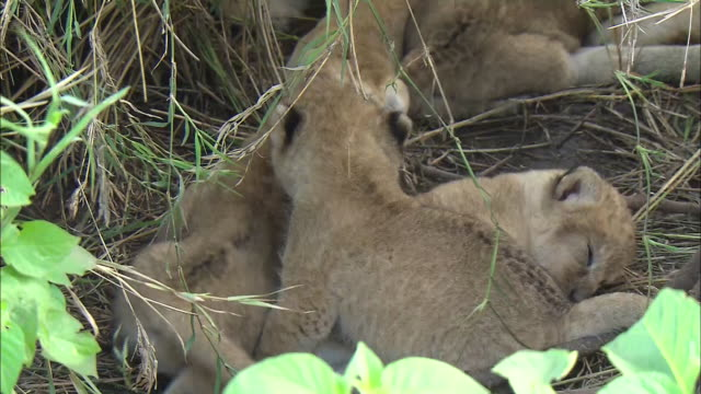 lion cubs sleeping in the bush of serengeti national park, tanzania - tierische nase stock-videos und b-roll-filmmaterial