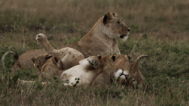 Lion cubs (Panthera leo) suckle and clamber on female lion, Kenya