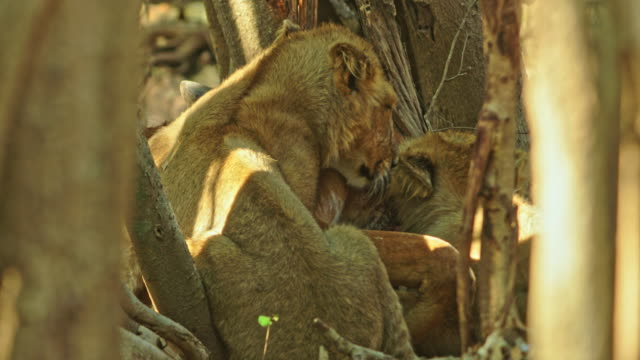 lion cubs - young animal stock-videos und b-roll-filmmaterial