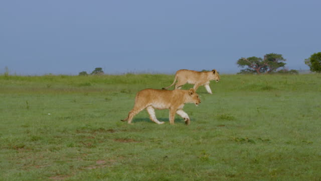 lion cubs walking, maasai mara, kenya, africa - ライオン点の映像素材/bロール