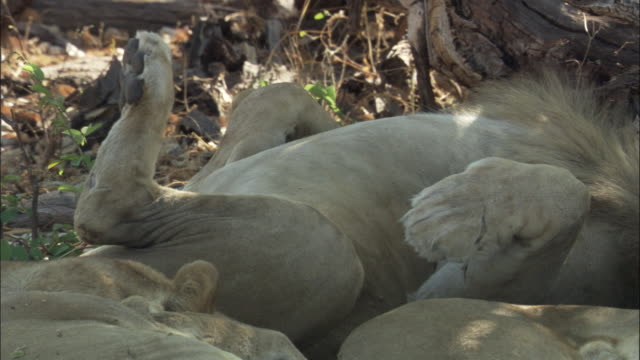lion dozes on its back, botswana - paw stock videos & royalty-free footage