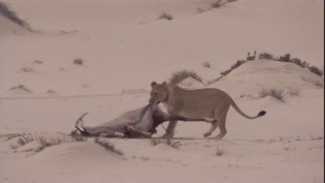 a lion drags the carcass of a gemsbok through the desert, skeleton coast, namibia. available in hd. - antilope stock-videos und b-roll-filmmaterial