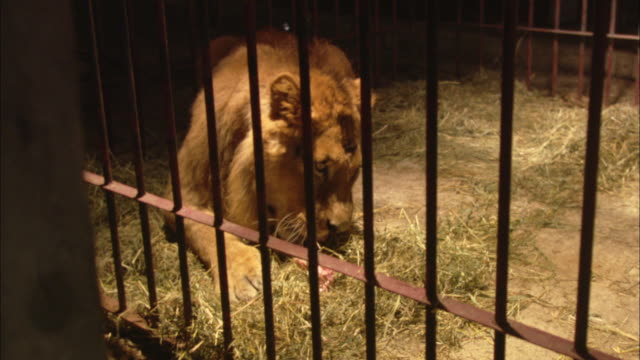 vidéos et rushes de a lion eats meat as it is thrown into its cage. - animaux en captivité