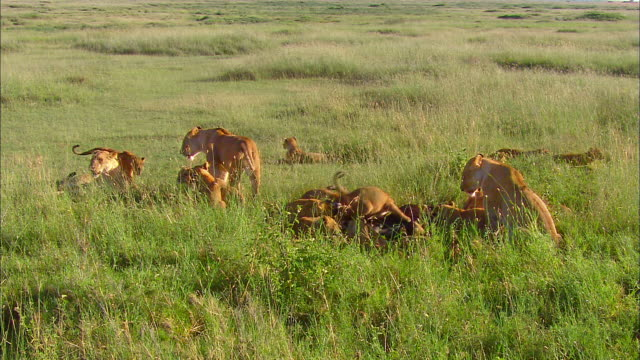 lion family eating wildebeest in savannah - young animal stock videos & royalty-free footage
