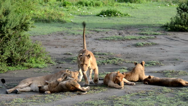 Lion Family Group Grooming