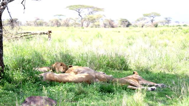 vídeos y material grabado en eventos de stock de león la familia - tanzania
