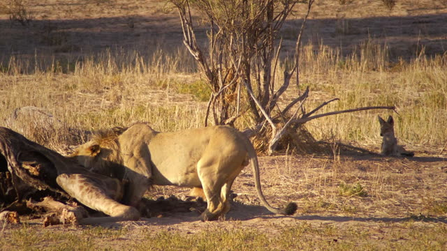Lion feeding on a giraffe