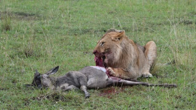 a lion feeds on zebra - feeding stock videos & royalty-free footage