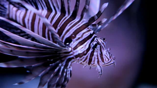 vídeos y material grabado en eventos de stock de pez león 101-30p de alta definición - rascacio