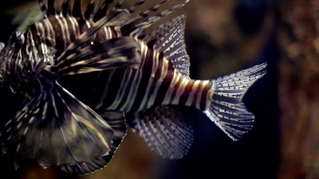 Lion fish close up