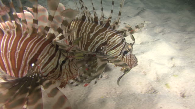 Lion fish(Pterois miles)  hunting at night ,Red sea, Egypt