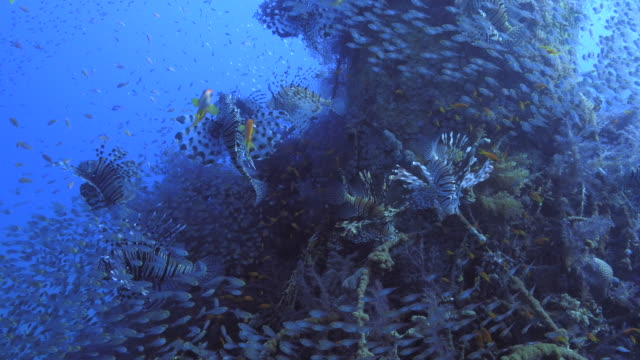 vidéos et rushes de lion fish hunting - film documentaire image animée